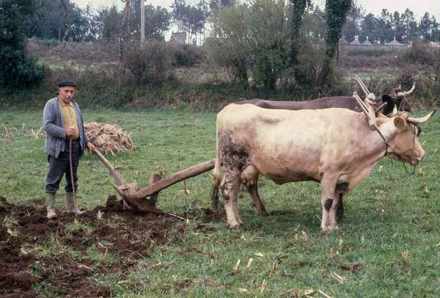 Arando con vacas. Ordes(A Coruña), 1980