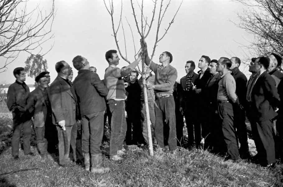 Demostración de poda. Betanzos (A Coruña), 1965
