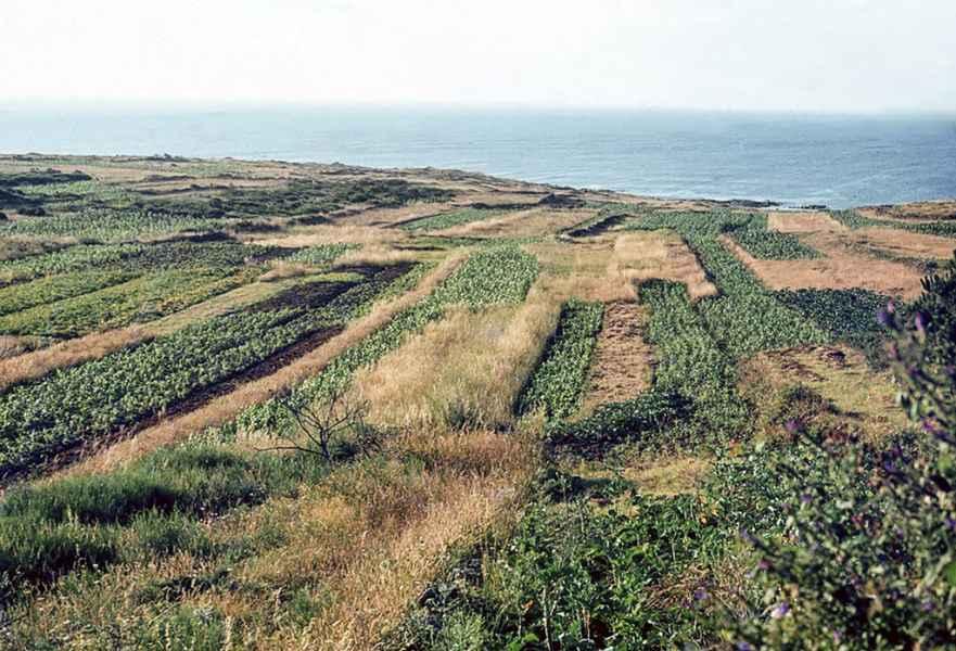 Minifundio no cultivo do millo. Fisterra (A Coruña), 1980