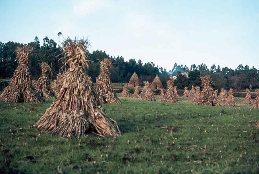 Palleiras de tallos de millo. Muxía(A Coruña), 1980