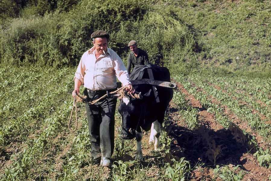 Sachando millo con vaca. Abegondo (A Coruña), 1980