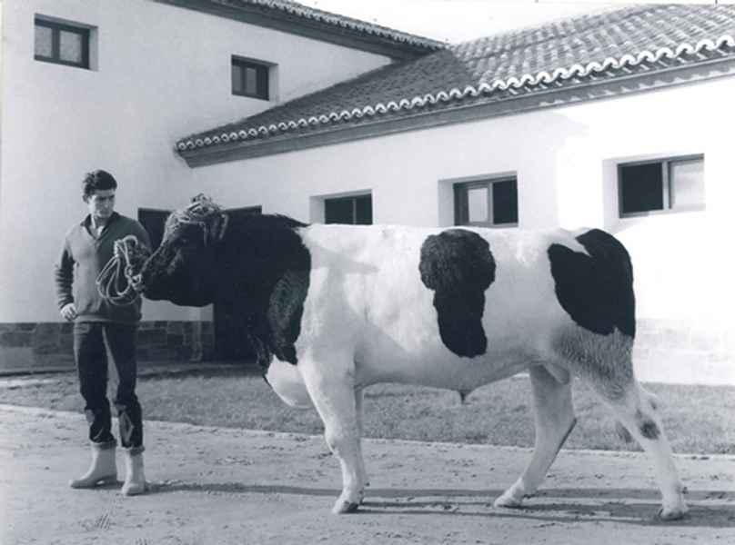 Semental Holandés. Betanzos (A Coruña), 1965