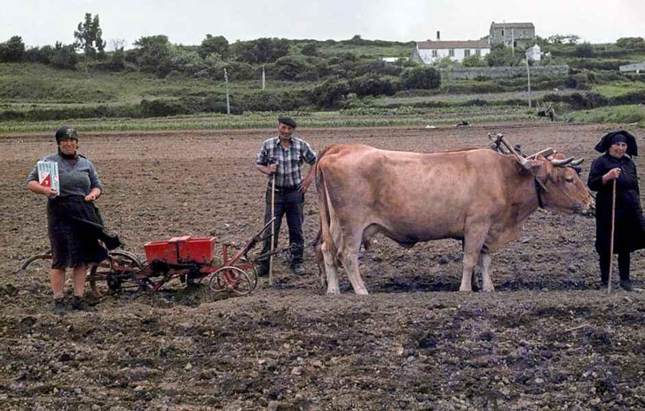 Sementando millo e xudías con vacas. Negreira (A Coruña), 1980